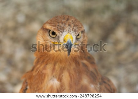 Portrait of bird of prey (Long-legged Buzzard) in pastel shades (shallow dof) - stock photo