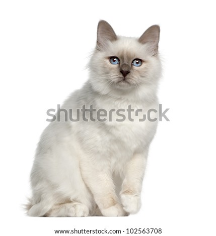 Portrait of Birman cat, 5 months old, sitting in front of white background - stock photo