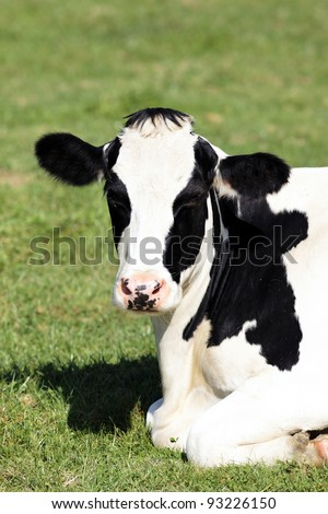 Portrait of black and white cow lying down