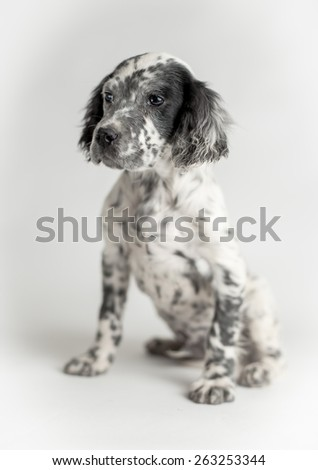 Portrait of black and white english setter puppy dog. Sitting position, white background - stock photo