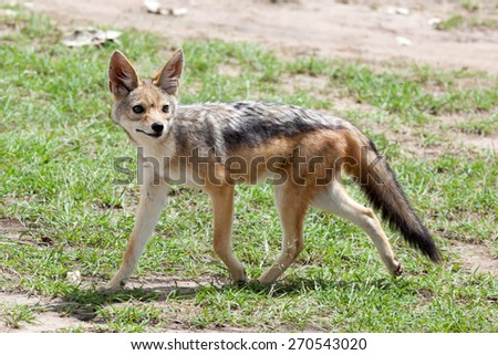 Portrait of black-backed jackal (Canis mesomelas),  Masai Mara National Reserve, Kenya, Africa.  - stock photo