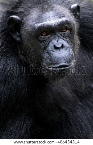 Portrait of black chimpanzee close-up
