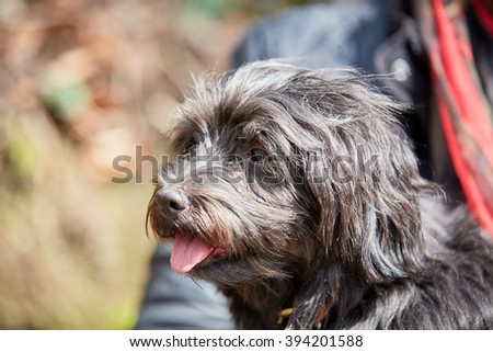Portrait of black havanese dog sitting in the sun