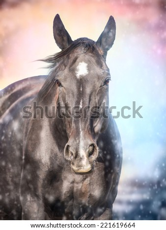 Portrait of  black horse in  evening snowfall  - stock photo