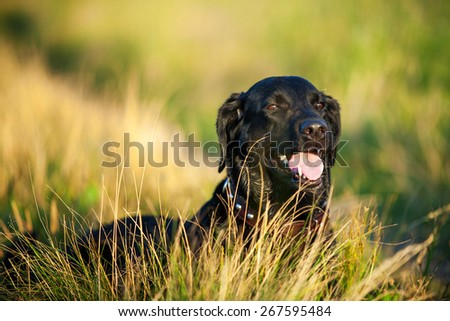 portrait of black labrador dog lying on long grass - stock photo