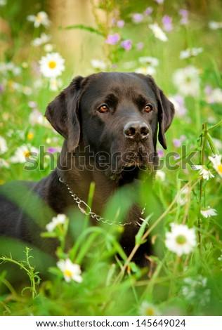 Portrait of black labrador in white flowers - stock photo