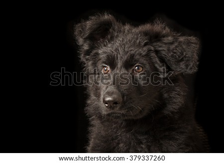 Portrait of Black Puppy - Old German Shepherd Dog - stock photo