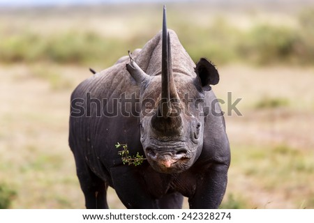Portrait of Black Rhino Karanja just eating in Masai Mara, Kenya - stock photo