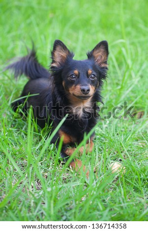 portrait of black russian toy terrier - stock photo