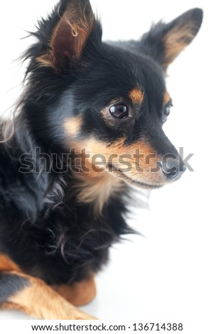portrait of black russian toy terrier isolated on white