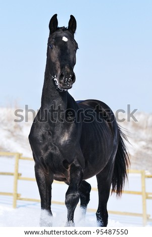 Portrait of black young horse in winter