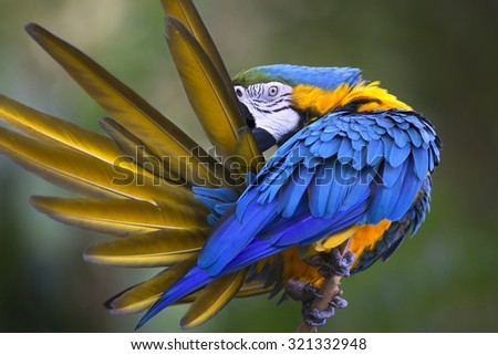 Portrait of blue-and-yellow macaw (Ara ararauna) grooming its feathers - stock photo