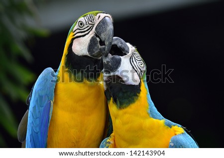 Portrait of Blue and Yellow macaw, blue and golden macaw with kissing in sweet moment, bird in love - stock photo