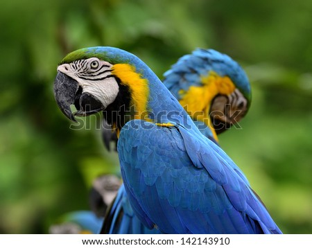 Portrait of blue-and-yellow macaw, blue and golden macaw with nice macaws in background, macaw bird