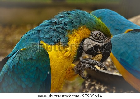 Portrait of blue and yellow macaw cracking a peanut