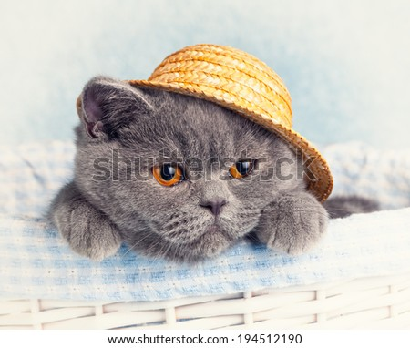 Portrait of Blue British cat is wearing straw hat - stock photo