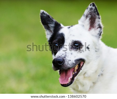 Portrait of blue heeler or Australian cattle dog with space for copy - stock photo
