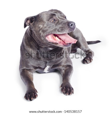 Portrait of blue Staffordshire bull terrier dog with tongue out, white studio background