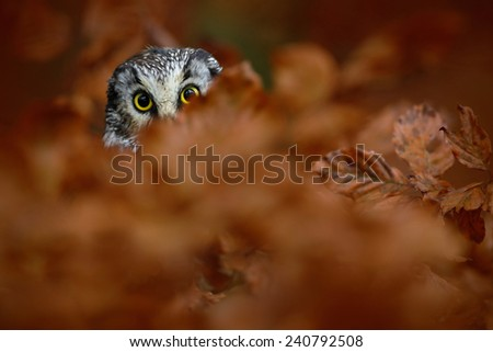 Portrait of Boreal Owl with yellow eyes in orange oak tree during autumn - stock photo