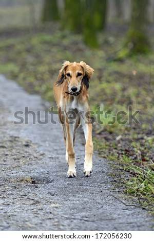 Portrait of Borzoi hound in the park