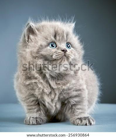 portrait of british long hair kitten - stock photo