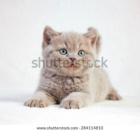 portrait of british short hair kitten