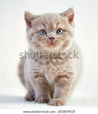 portrait of british short hair kitten, 5 weeks old, selective focus