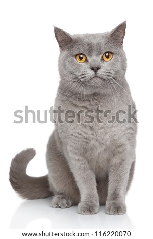 Portrait of British Shorthair cat sits on a white background - stock photo