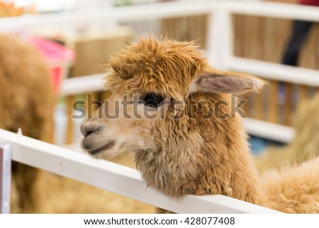 portrait of brown alpaca in stall