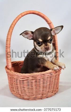 Portrait of brown and tan short-haired Chihuahua puppy in a basket