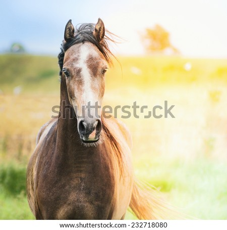 Portrait of  brown Arabian horse in sunlight, outdoor - stock photo