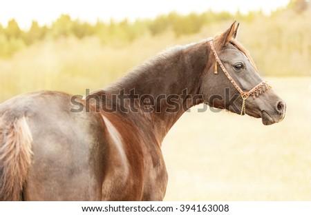 Portrait of brown Arabian horse in sunlight, outdoor - stock photo