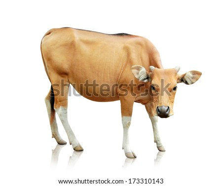 portrait of brown banteng isolated on white background