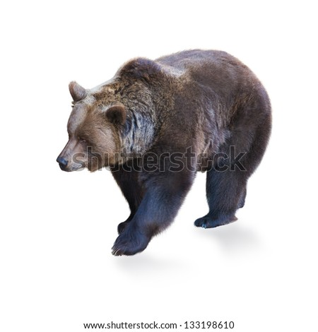 Portrait Of Brown Bear Isolated On White Background - stock photo