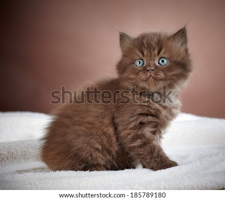 portrait of brown british long hair kitten
