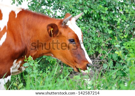 Portrait of   brown cow in profile.