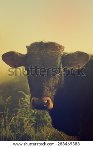 Portrait of brown cow in the mountain morning fog - stock photo