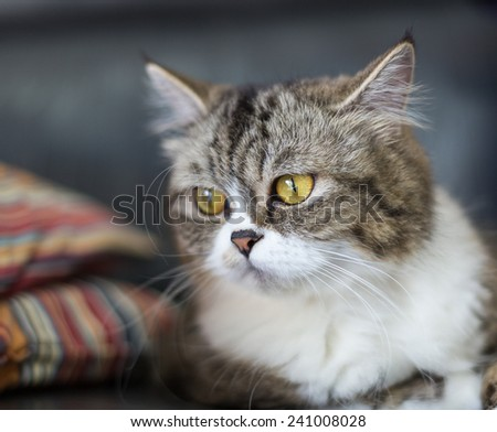 Portrait of brown-eyed cat  - stock photo