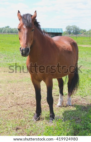 Portrait of brown horse on a green meadow near the farm - stock photo