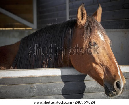 Portrait of brown horse who stand in a stable - stock photo