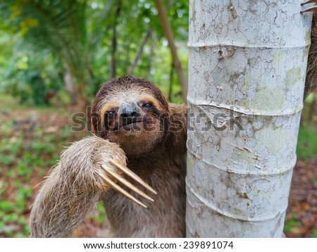 Portrait of brown-throated three-toed sloth on a tree, Panama, Central America - stock photo