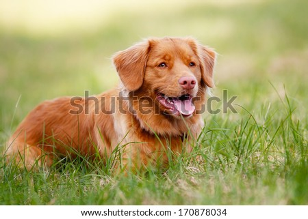 Portrait of brown toller dog looking to the side. - stock photo
