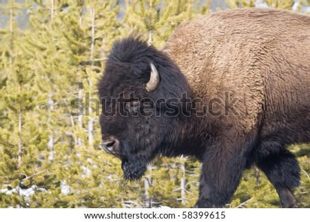 Portrait of bull bison  against Lodgepole pines in Yellowstone National Park - stock photo