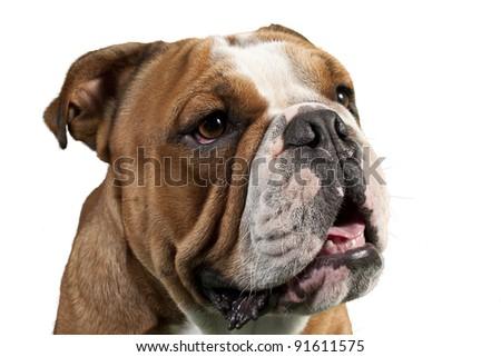 Portrait of Bulldog - stock photo