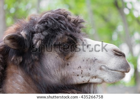 portrait of camel closeup on a green background