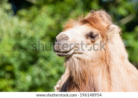 Portrait of Camel in ZOO Liberec - stock photo