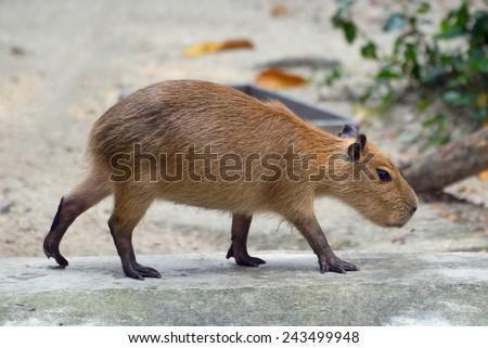 Portrait of capybaras walking, side view - stock photo