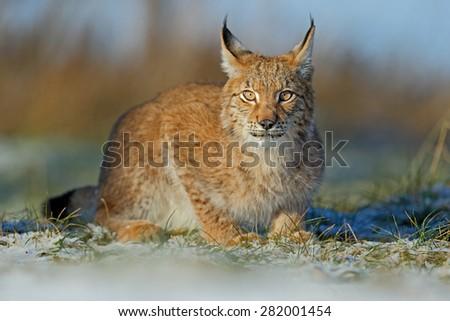Portrait of cat Eurasian Lynx on snow in winter - stock photo