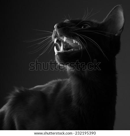 Portrait of  cat roaring - stock photo