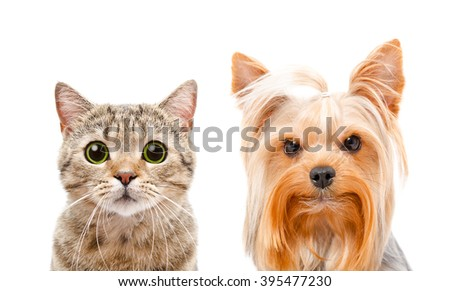 Portrait of cat Scottish Straight and Yorkshire terrier, closeup, isolated on white background - stock photo